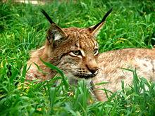 Gaupe, Lodjur, Lynx